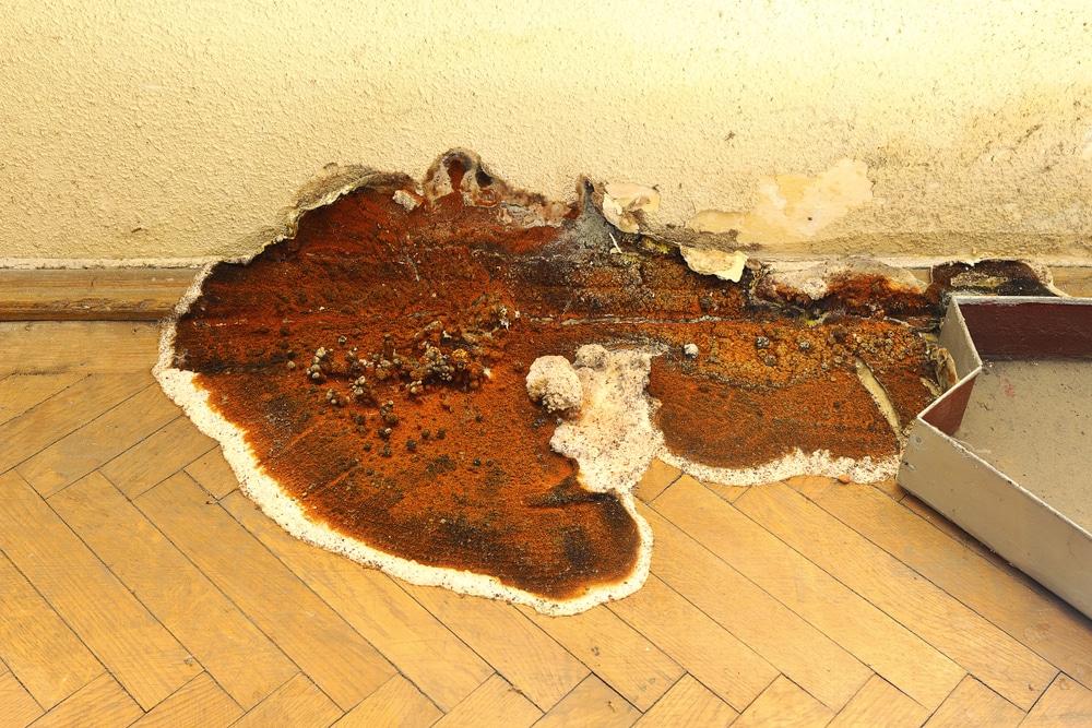 merule mildiou champignon bois